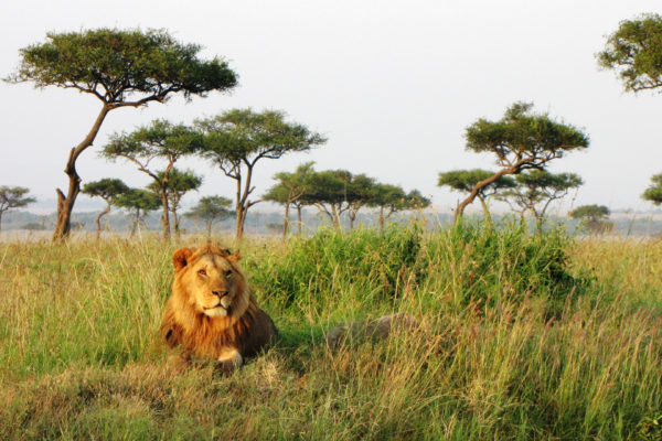 Lion in the Maasai Mara