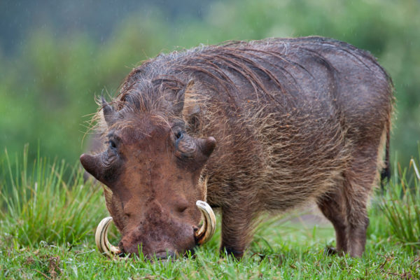 Warthog in the Aberdare National Park