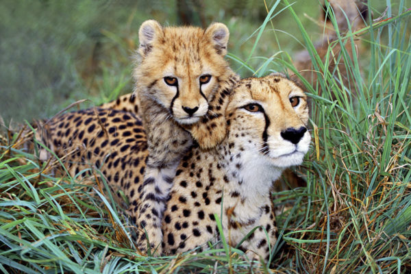 Cheetah Mother And Baby