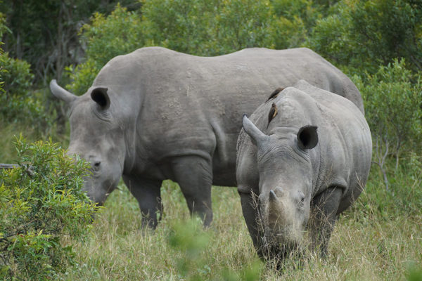 Rhinos, Kruger National Park