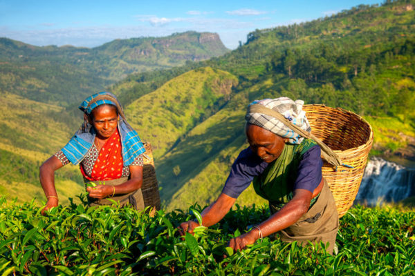 Tea pickers in Nuwara Eliya