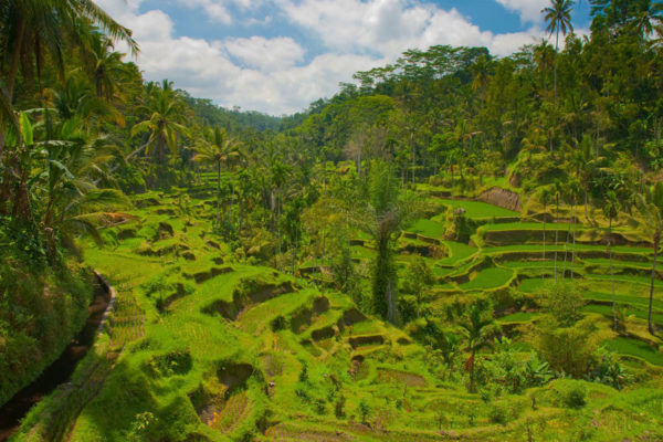 The lush rice terraces of Bali