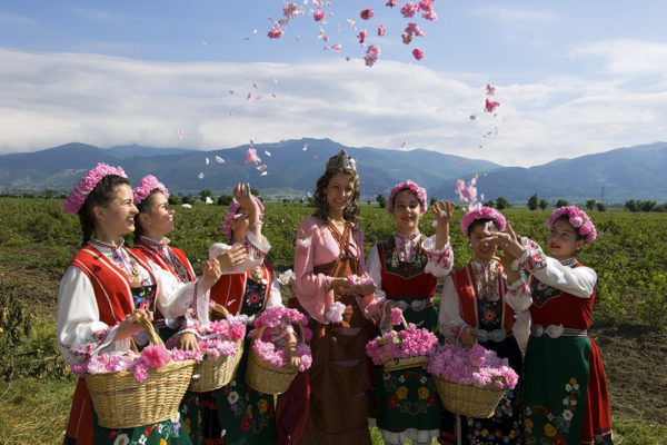 Traditional rose harvest, Bulgaria