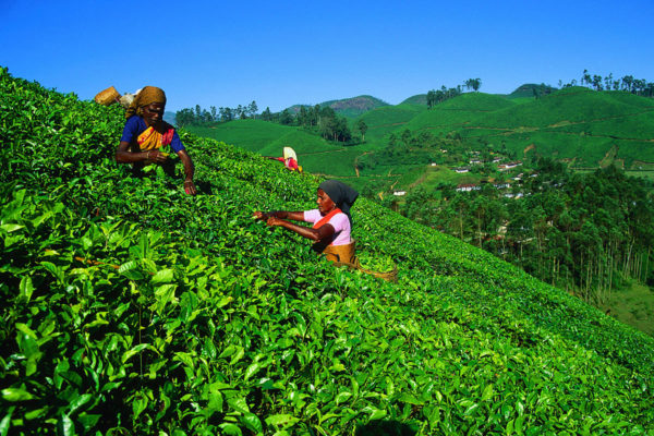 Tea Pickers In Ooty, South India