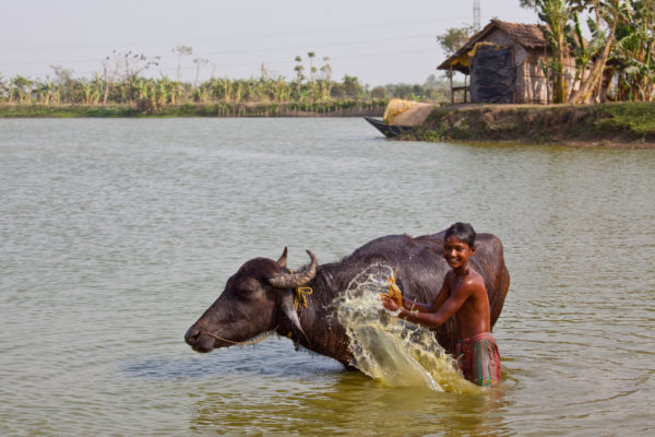 A boy washing his water buffalo on the Hooghly