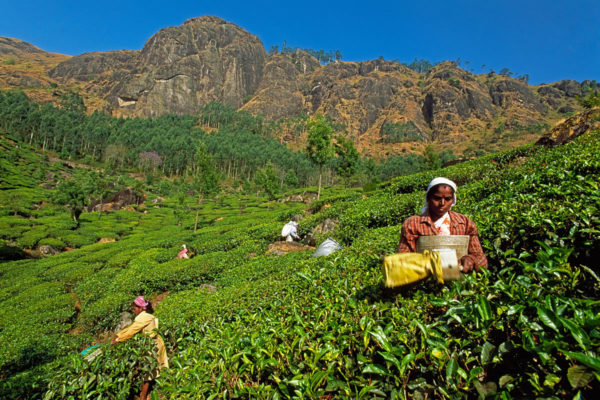 Tea pickers in Ooty