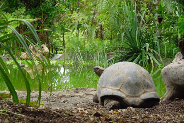 Galapagos tortoise in the wild