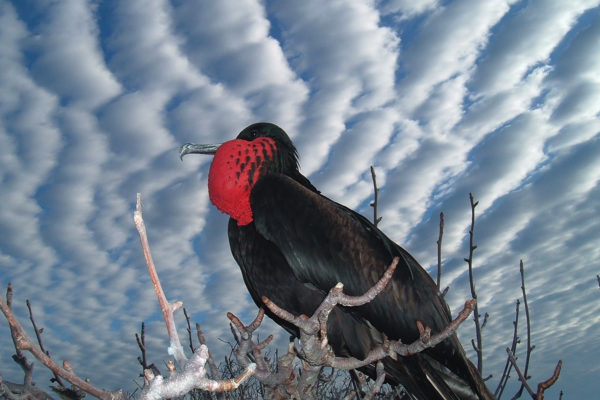 A magnificent frigate bird