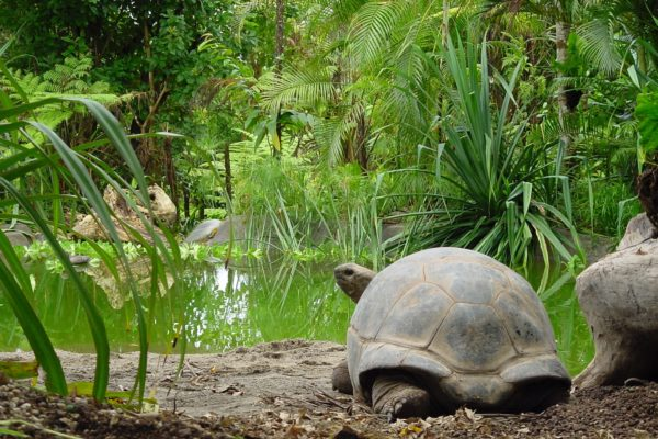 Giant tortoises in the wild