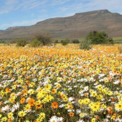 Cape flowers in spring time