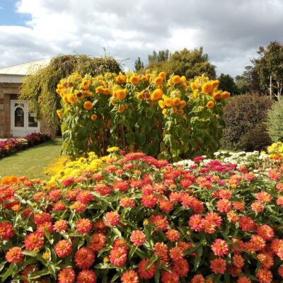 Sunflowers and zinnias welcome visitors to the conservatory