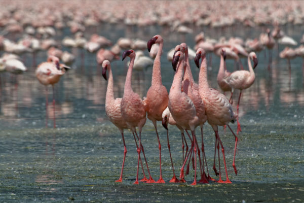 Flamingos in the Rift Valley (extension)