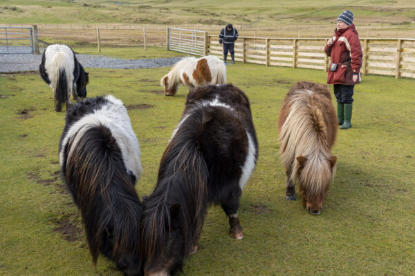 Shetland ponies at Scalloway Castle