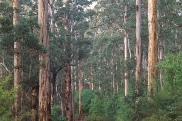 The great karri trees of the South West