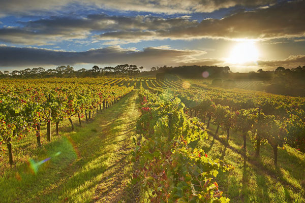 Sunset over a Margaret River vineyard